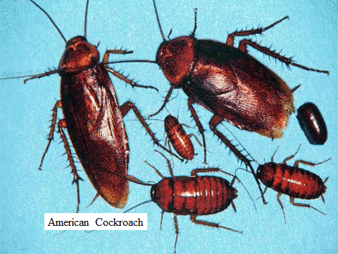 American Cockroach