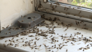 Seasonal Termite Swarming